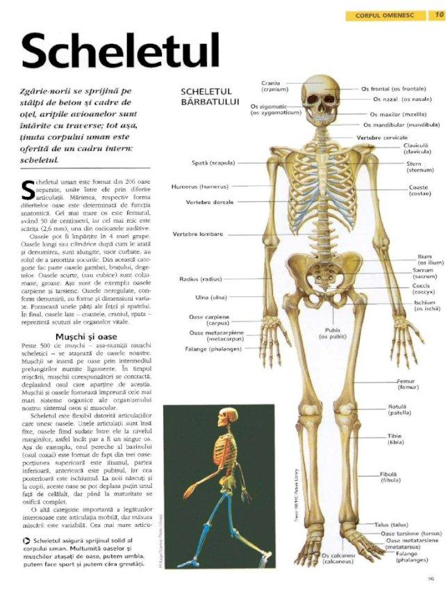 articulatiile corpului uman